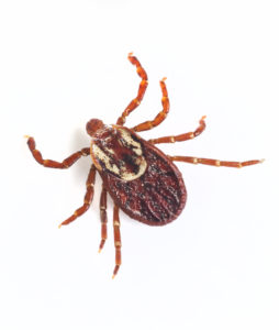 Deer Ticks Blacklegged Ticks on East End Long Island by East End Tick Control