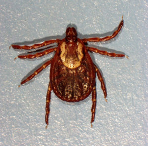 Female American Dog Ticks by East End Tick Control
