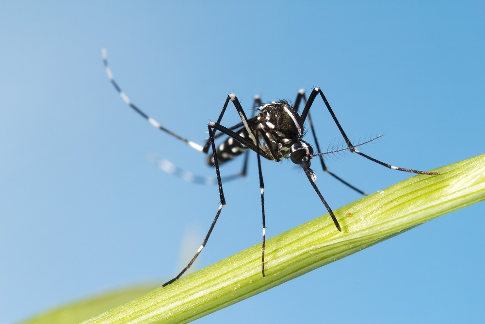 Long Island Asian Tiger Mosquito